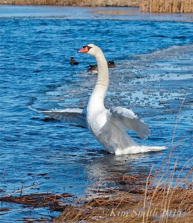 Mute Swan taking flight -2 ©Kim Smith 2014