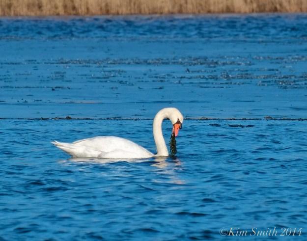 Swan food winter ©Kim Smith 2014