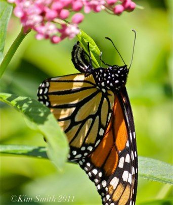 female-monarch-egg-marsh-milkweed-c2a9kim-smith-2013jpg