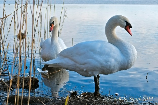 Female Pen (left) Male Cob Mute Swan ©Kim Smith 2012