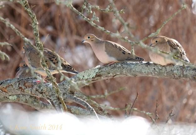 Four Mourning Doves  ©Kim Smith 2014