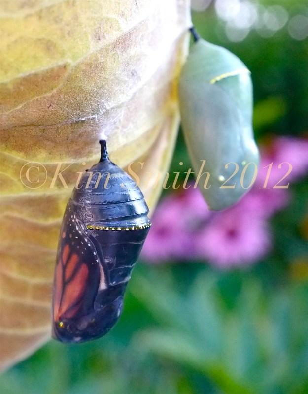 Monarch Butterfly Chrysalis Green Black Gold Dot ©Kim Smith 2012