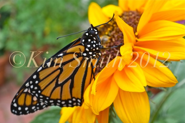 Monarch Butterfly Sunflower Close up ©Kim Smith 2012
