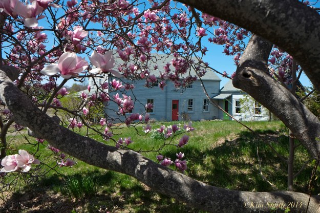 Burnham House Essex MA Magnolia ©Kim Smith 2014