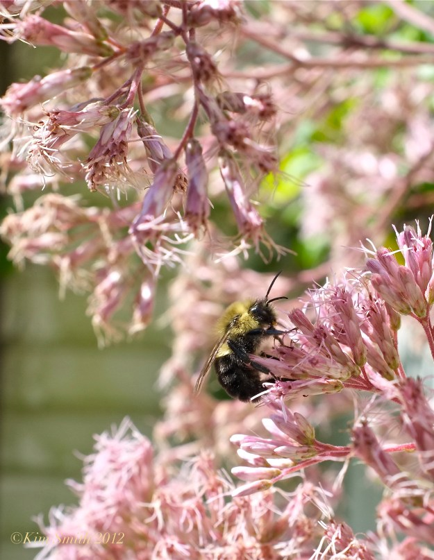 Eupatorium and Bee ©Kim Smith 2012