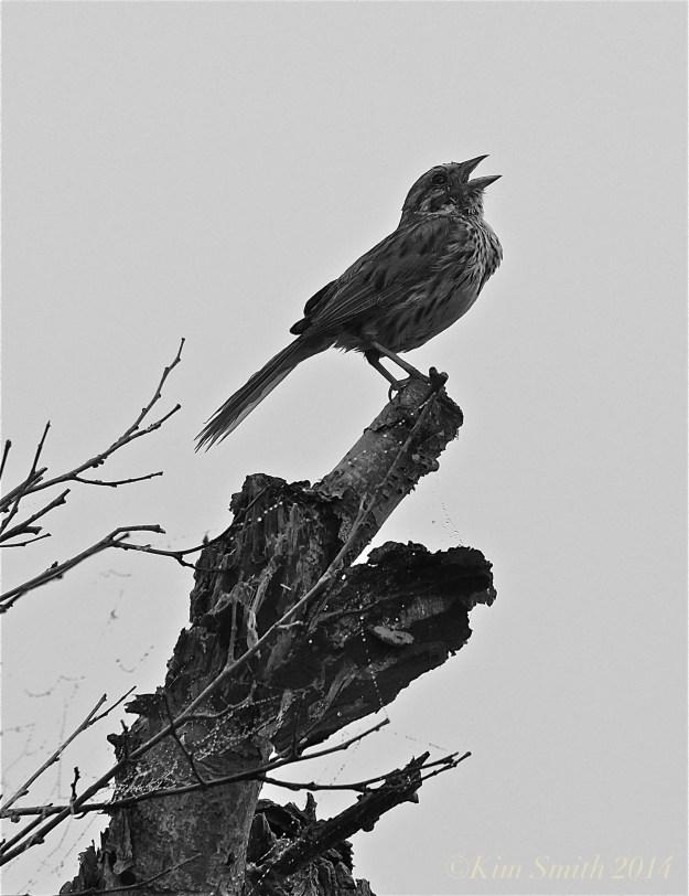 Song Sparrow Niles Pond Gloucester ©Kim Smith 2014