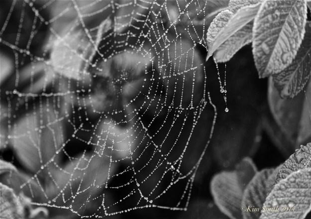 Spider's Web Niles Pond Gloucester ©Kim Smith 2014JPG
