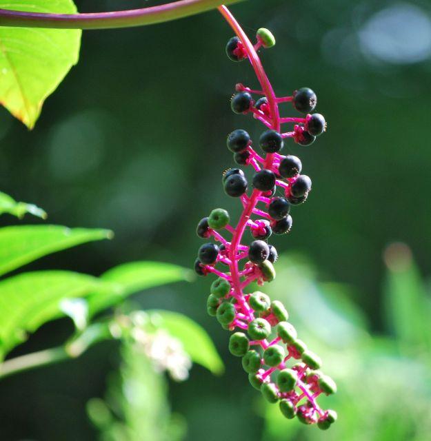 Phytolacca_americana_Sugarcreek_Ohio