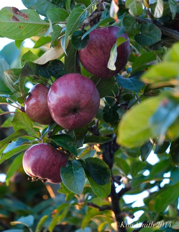Apples ©Kim Smith 2014 copy