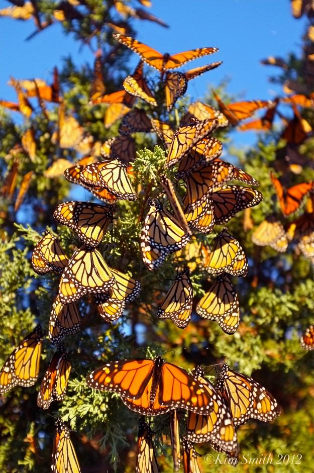 Monarchs Gloucester MA ©Kim Smith 2012 -1269 copy