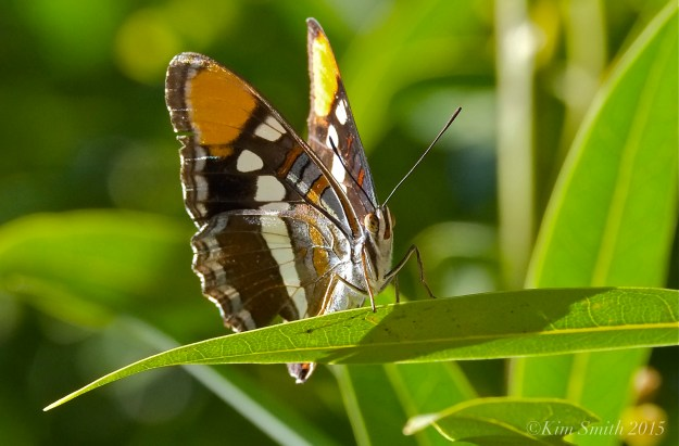 California Sister Butterfly Santa Monica Solstice Canyon ©Kim Smith 2015