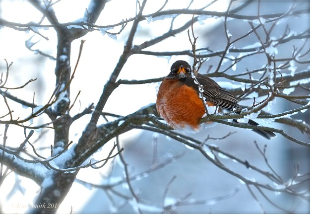 American Robin in the Snow ©Kim Smith 2014