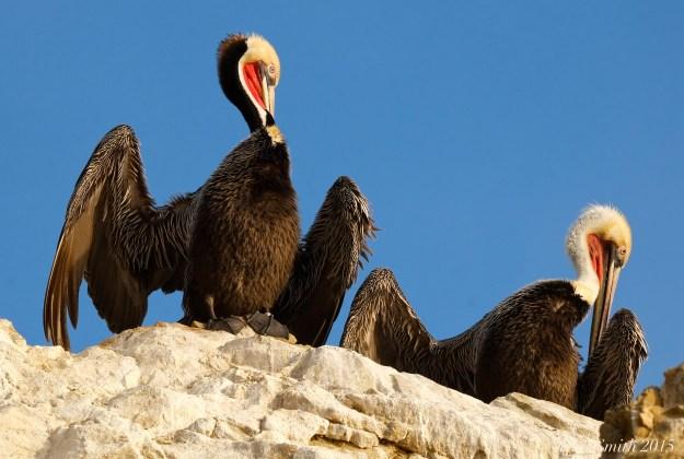 California Brown Pelican preening ©Kim Smith 2015