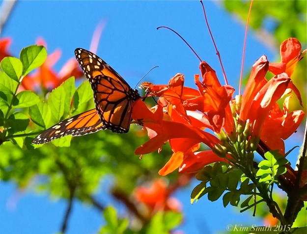 Goleta Monarch Butterfly Santa Barbara California Cape Honeysuckle ©Kim Smith 2015.