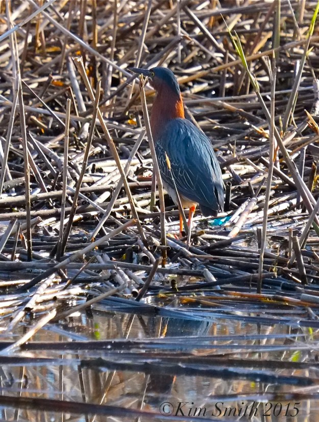 Green Heron Cape Ann Massachusetts ©Kim Smith 2015