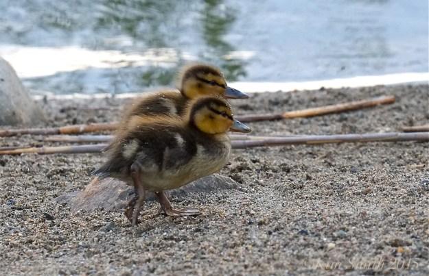 Mallard Duckilngs ©Kim Smith 2015JPG