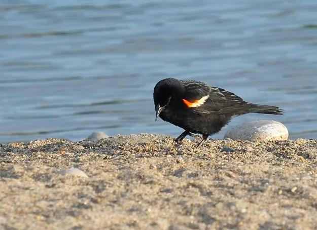 Male Red-winged Blackbird Massachusetts -2 ©Kim Smith 2015