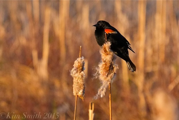 Male Red-winged Blackbird Massachusetts -4 ©Kim Smith 2015