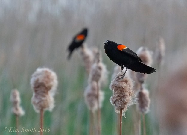 Male Red-winged Blackbird Massachusetts -5 ©Kim Smith 2015