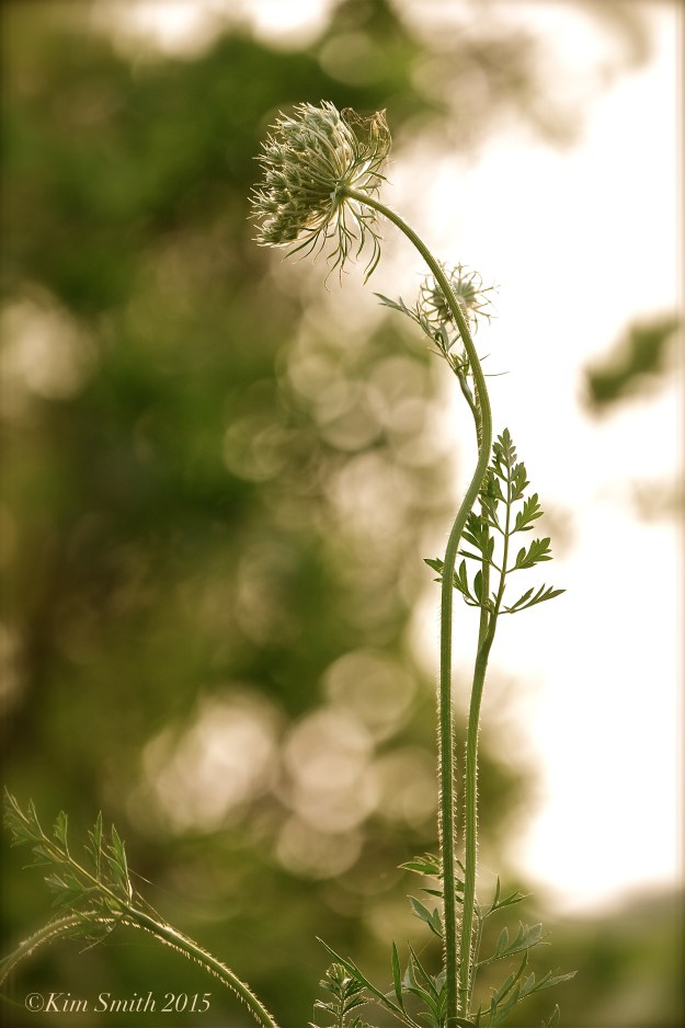 Queen Annes's Lace ©Kim smith 2015