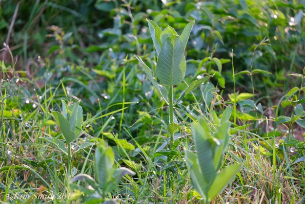 Milkweed Shoots Cabot Farm Salem ©Kim Smith 2015