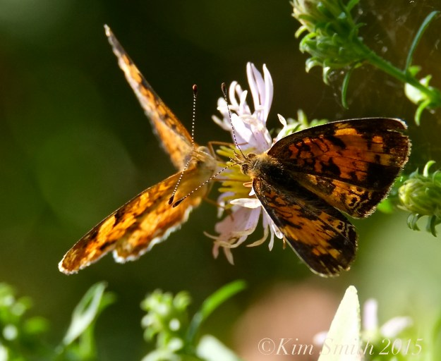 Pearl Crescent Butterflies -3 ©Kim Smith 2015