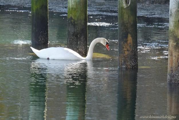 male-mute-swan-cygnus-olor-www-kimsmithdesigns-com-copyright-2016