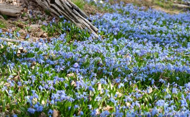 Spring beauty Scilla siberica Kim Smith