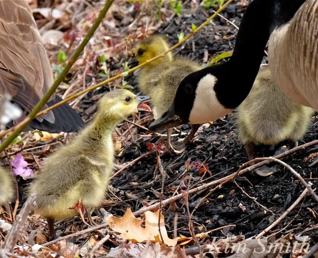 canada geese goslings sass c Kim Smith