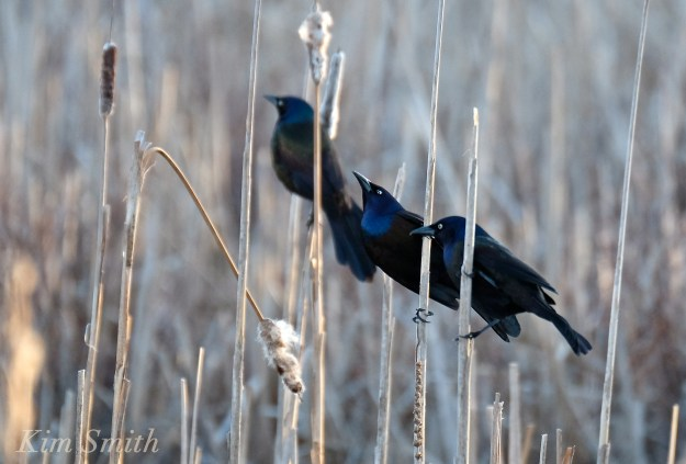 Common Grackle males copyright Kim Smith