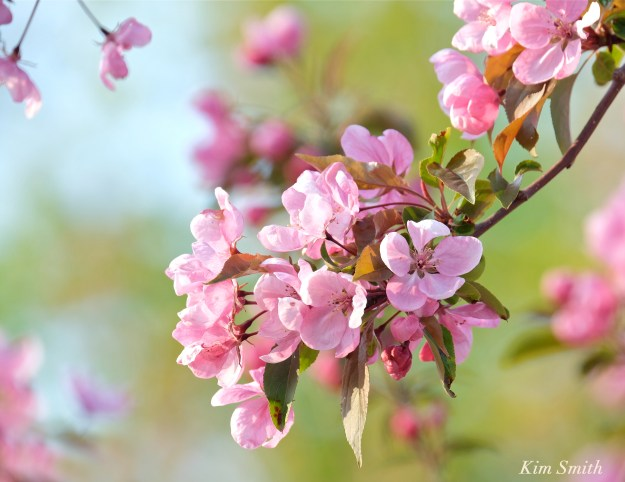 Crabapple blossoms