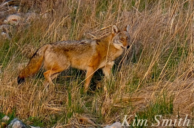 Eastern Coyote massachusetts Kim Smith
