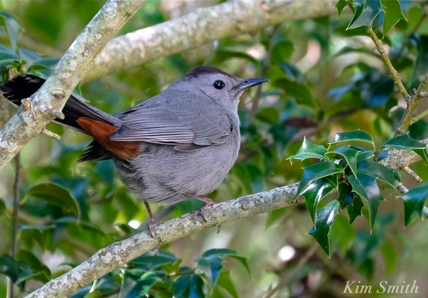 Gray Catbird holly tree copyright Kim Smith