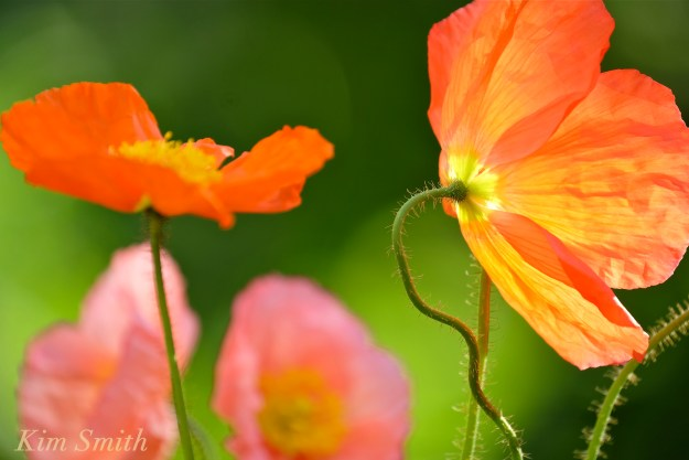 Iceland Poppies orange copyright Kim Smith