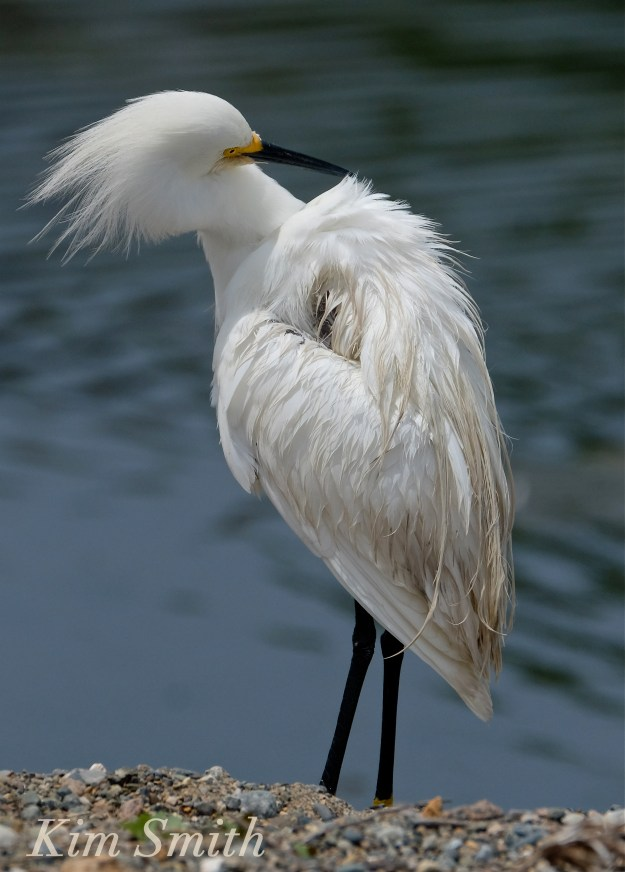 Snowy Egret Egretta thula -15 copyright Kim Smith