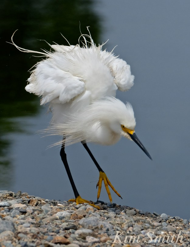Snowy Egret Egretta thula -21 copyright Kim Smith