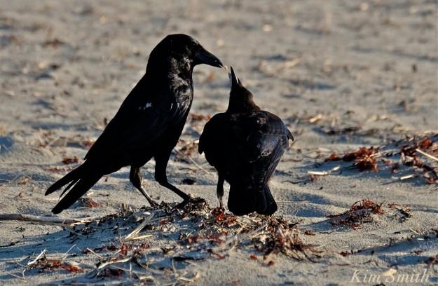 Crow feeding copyright Kim Smith