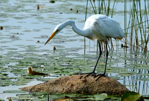 Great Egret Ardea alba copyright Kim Smith