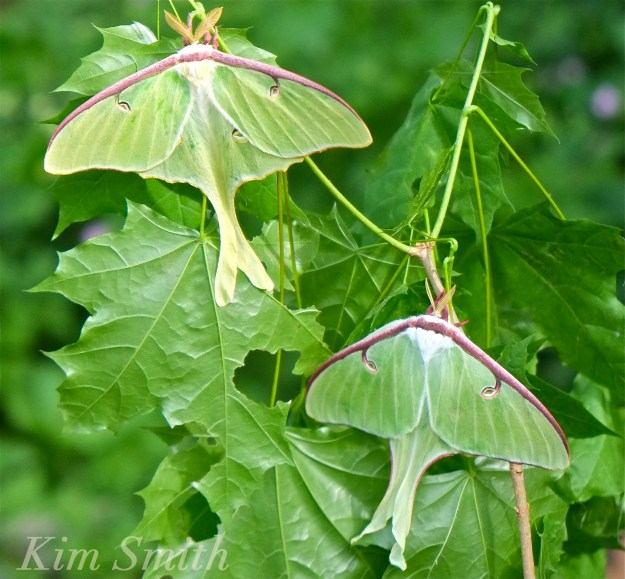Male Female Luna Moth dorsal Copyright Kim Smith copy