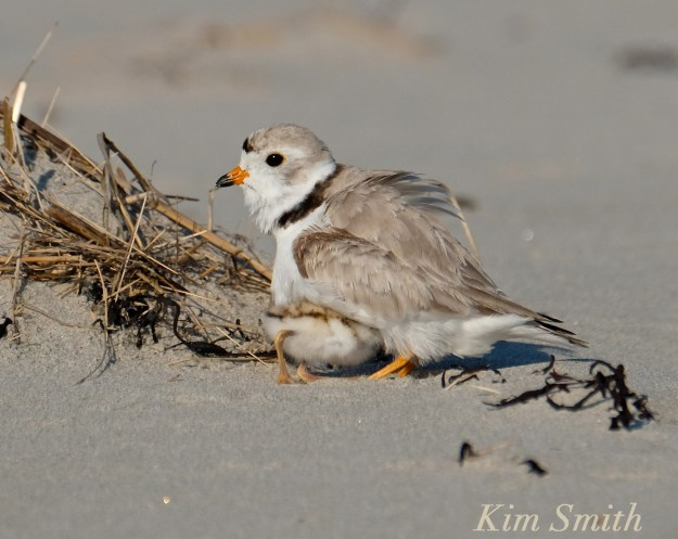Piping Plover chicks male -3 copyright Kim Smith 6-13-16
