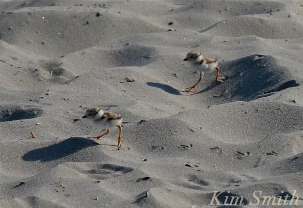 Piping Plover chicks nestlings -3 copyright Kim Smith 6-14-16