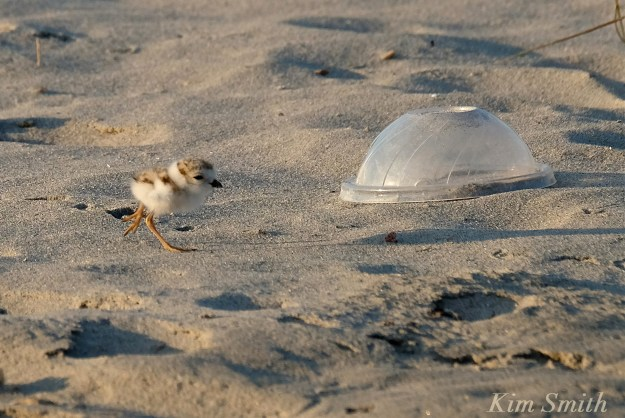 Piping Plover garbage and chick copyright Kim Smith
