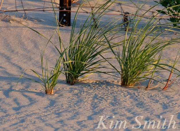 Piping Plovers Three eggs Gloucester MA copyright Kim Smith