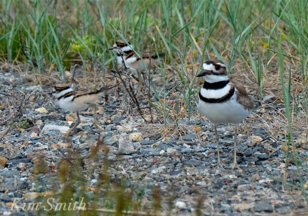 Killdeer Chicks Good Harbor Beach Gloucester Massachusetts copyright Kim Smith