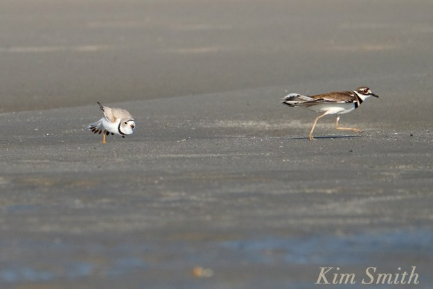 Piping Plove Chasing Killdeer Good Harbor Beach Gloucester Massachusetts copyright Kim Smith