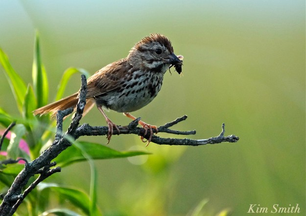 Song Sparrow copyright Kim Smith