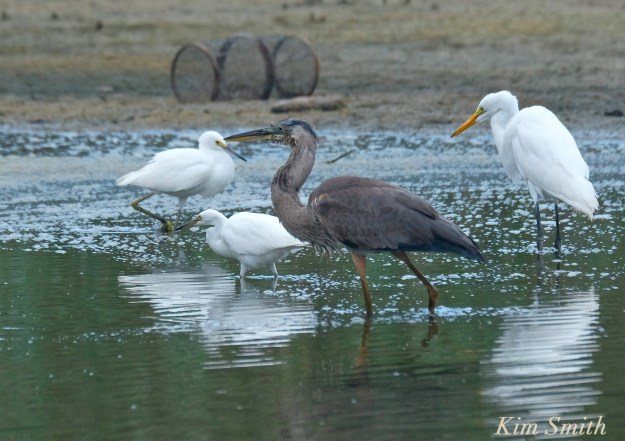 great-blue-heron-immature-snowy-egret-great-egret-copyright-kim-smith