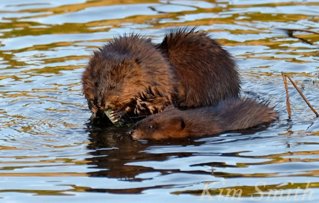 three-muskrat-family-massachusetts-2-copyright-kim-smith