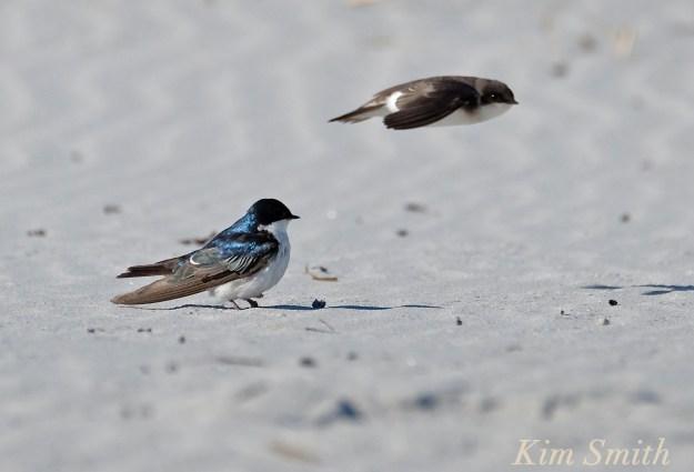 Tree Swallows Male Female copyright Kim Smith