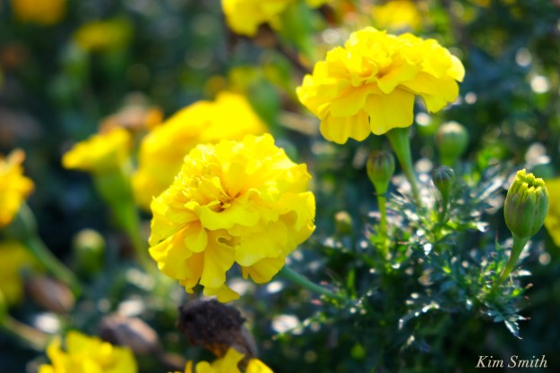 yellow-marigolds-cedar-rock-gardens-copyright-kim-smith